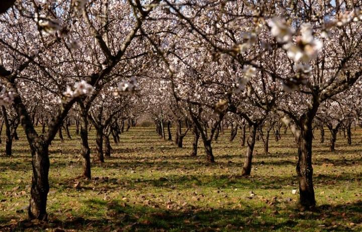 96-46-Amendoeiras em Flor